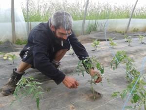 Thomas Roche s'occupe de ses plants de tomates